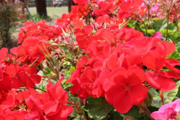 赤い花…これなんていうの?